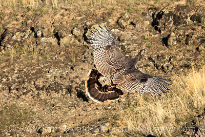 Wild Turkey soaring through the rocky habitat at Palouse Falls State Park near Lacrosse, Washington.