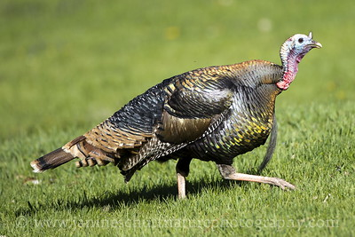 Male Wild Turkey at Bassett Park in Washtucna, Washington.