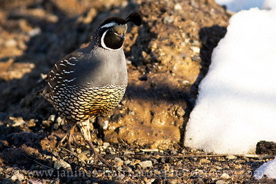Male California Quail in Mansfield, Washington.