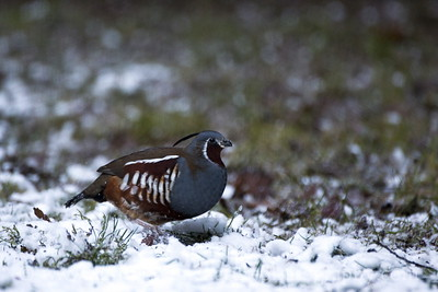 Male Mountain Quail on a snowy day near Bremerton, Washington.
