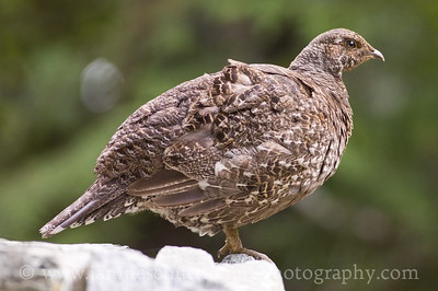 Female Sooty Grouse near the Visitor Center at North Cascades National Park.