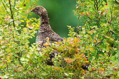Sooty Grouse in Olympic National Park near Port Angeles, Washington.