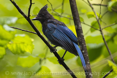 Steller's Jay at Seaquest State Park near Castle Rock, Washington.