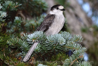 Gray Jay at Hurricane Ridge, Olympic National Park near Port Angeles, Washington.