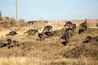 Flock of Wild Turkeys near the entrance of Palouse Falls State Park near Lacrosse, Washington.