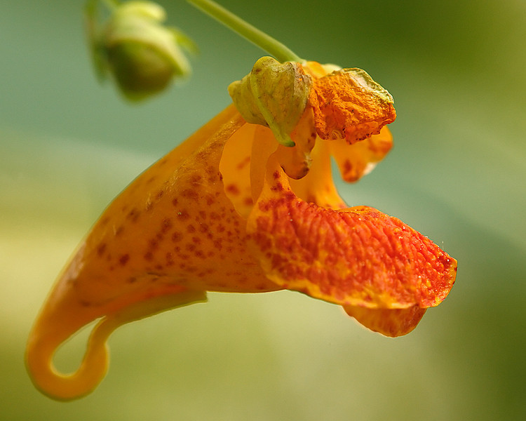 Found this bloom in my back yard. Resembles a snap dragon.