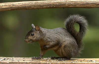 Squirrel of a Different  Color