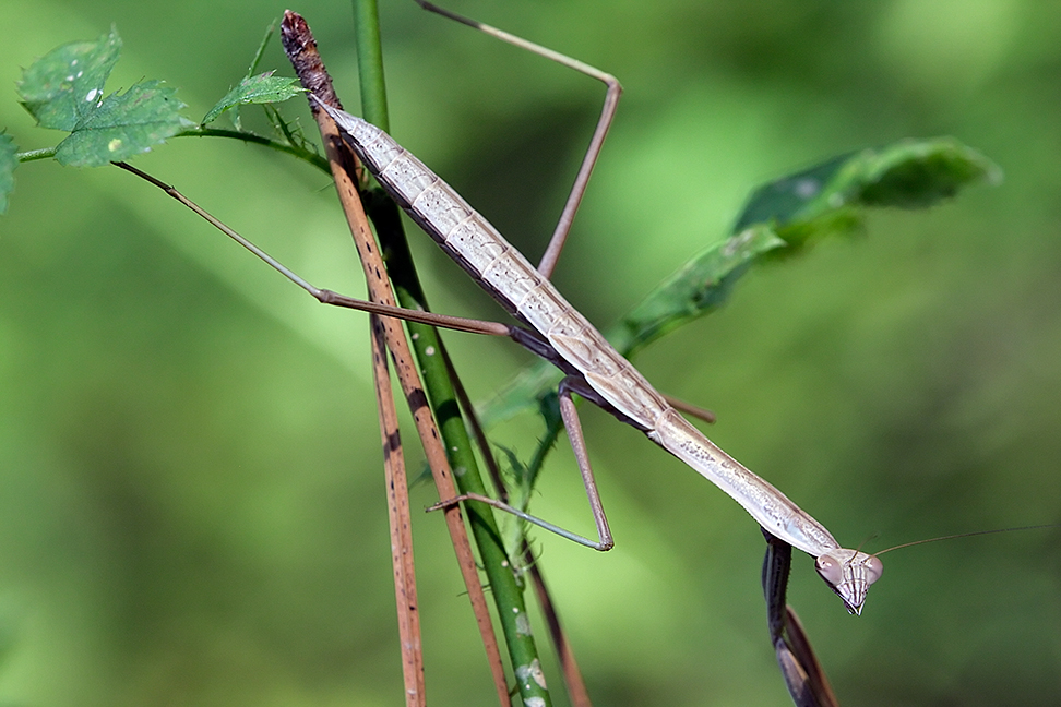 Walking Stick. Found at Liberty Reservoir WMA.
