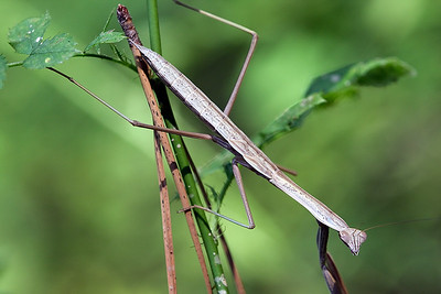 Walking Stick. Found at Liberty Reservoir WMA.