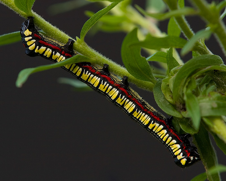 Colorful Caterpillar I found in my back yard.