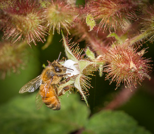 Bee on Wineberry