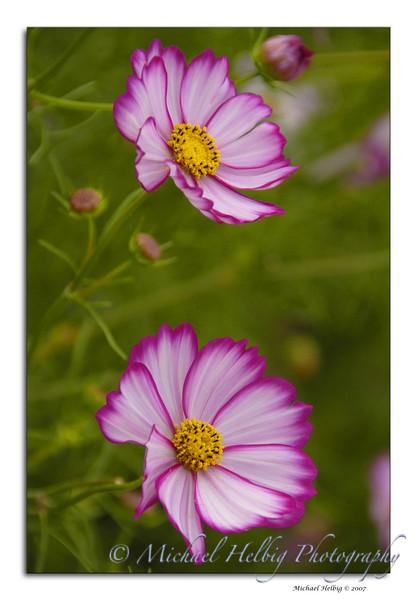 Cosmos Flowers - Hiroshima