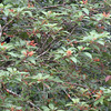la selva red rumped tanager in firebush tree