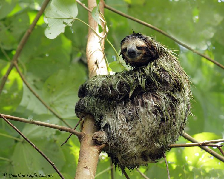 Soaked Three-toed Sloth