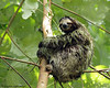 Soaked Three-toed Sloth