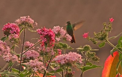 Rufous-Tailed Hummingbird, Heredia, Costa Rica