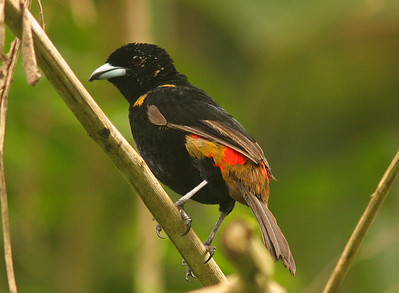 Cherrie's Tanager, female, Osa Peninsula, Costa Rica
