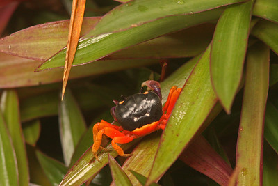 Halloween Crab, Osa Peninsula, Costa Rica