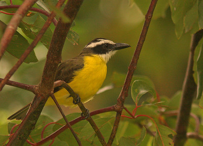 Great Kiskadee, La Fortuna, Costa Rica