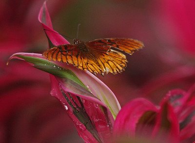 Mexican Fritillary on Ti Plant, Heredia Costa Rica