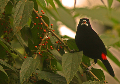 Cherrie's Tanager male with red berry, Osa Peninsula, Costa Rica