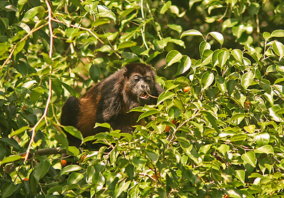 Howler Monkey chewing on Lychee nuts, Osa Peninsula, Costa Rica