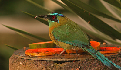 Blue-Crowned Mot Mot,  Heredia, Costa Rica