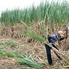 manual harvesting of sugarcane