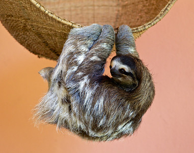 Buttercup, a three-fingered sloth, at the Sloth Sanctuary.