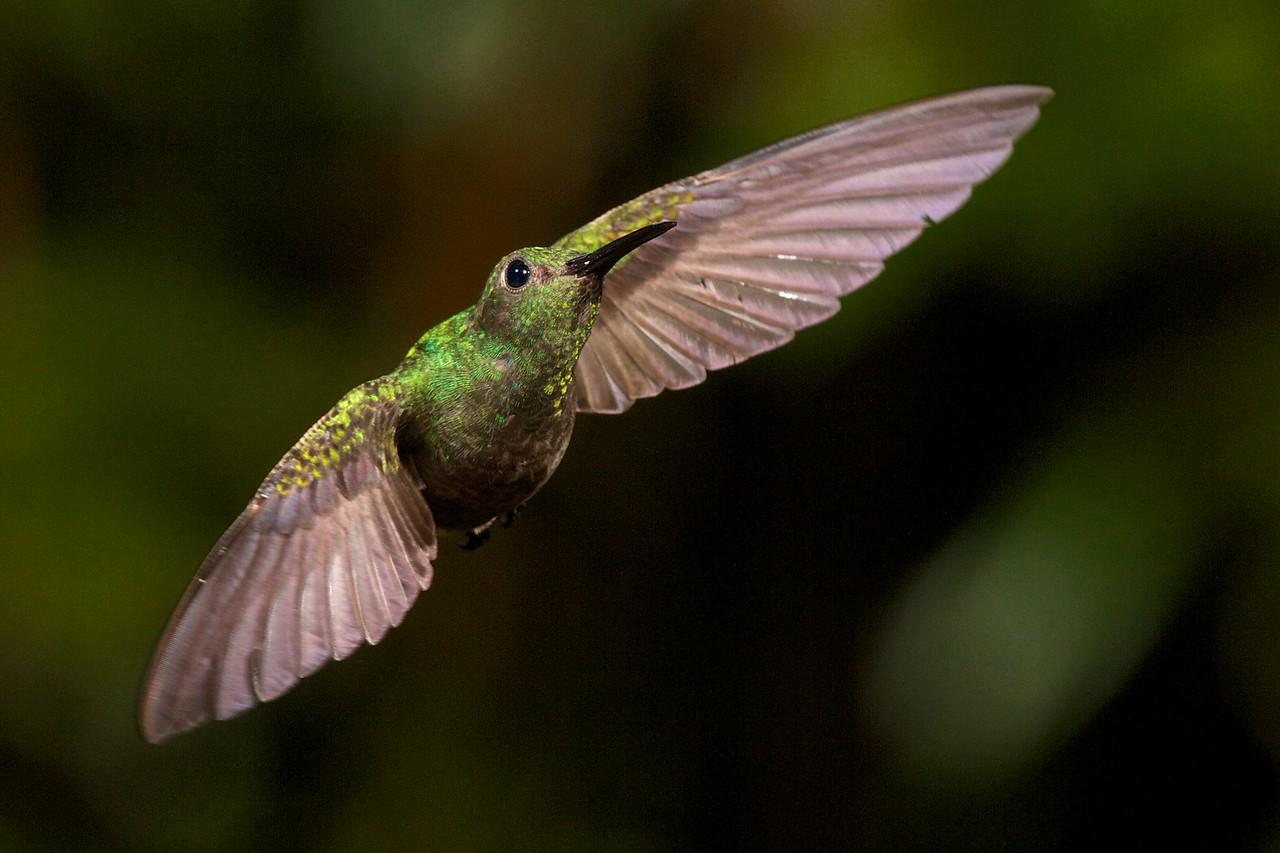 Scaly-breasted Hummingbird. Four-flash setup, camera on tripod.