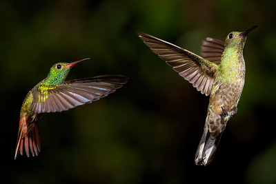 Rufous-tailed Hummingbird and Scaly-breasted Hummingbird.