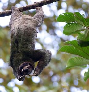 A wild sloth.