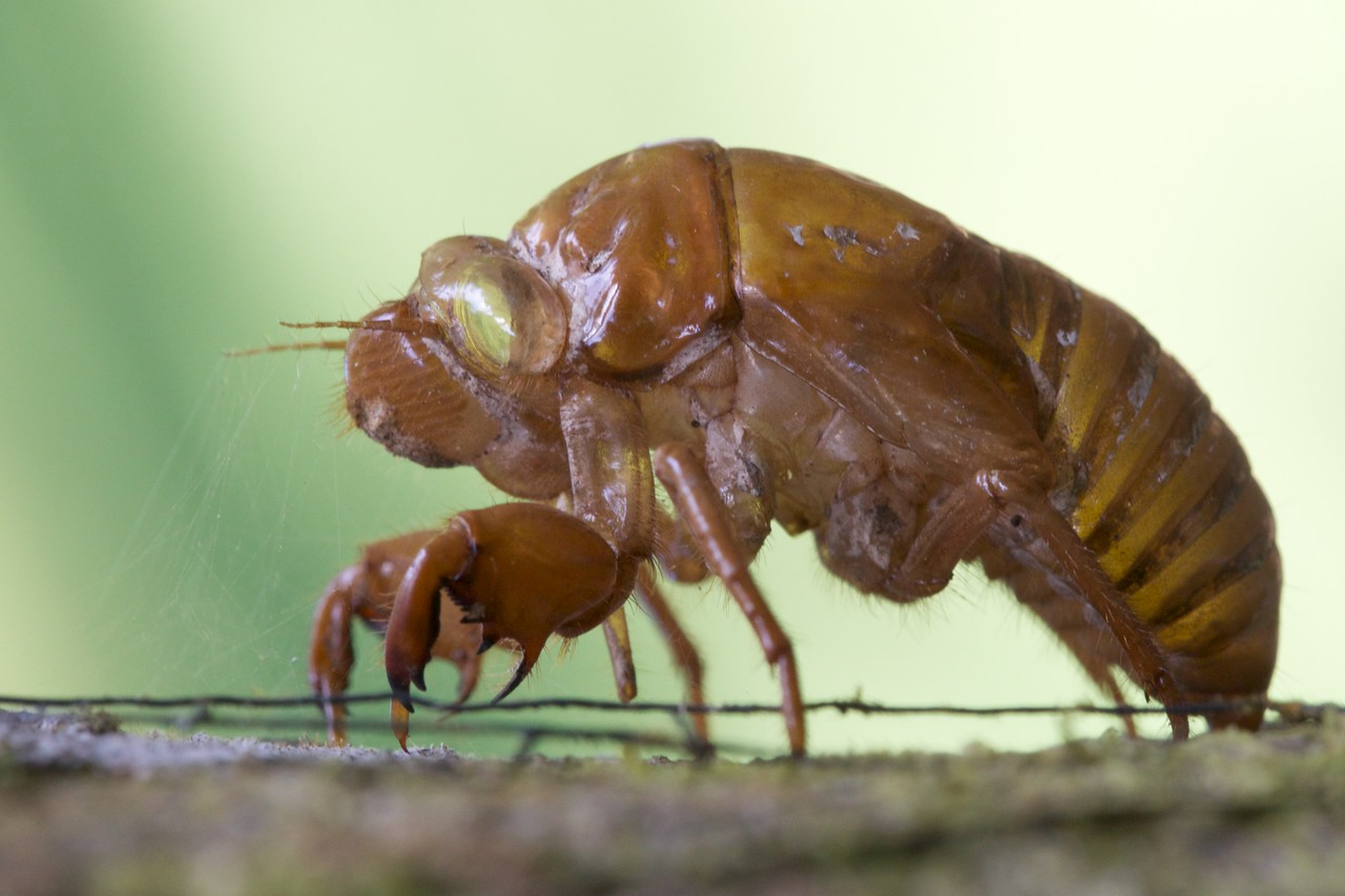 Cicada Exoskeleton.