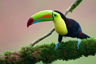 Keel-billed Toucan.