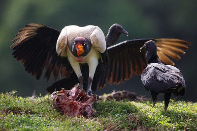 King Vulture.
