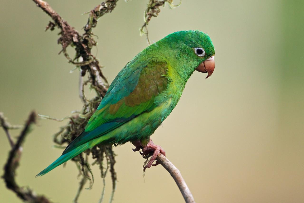 Orange-chinned parakeet.