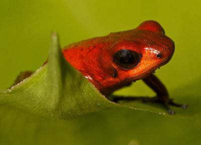 Strawberry Poison Dart Frog.