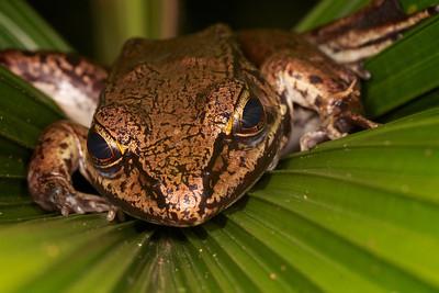 Valiant's frog.