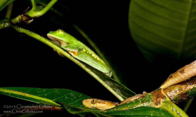 Agalychnis Leptodeira 2