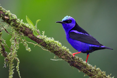 Male Red-legged honeycreeper from bird blinds at Laguna del Lagarto Lodge.