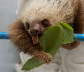 Two-fingered Sloth at the Sloth Sanctuary.