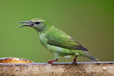 Female Red-legged honeycreeper.