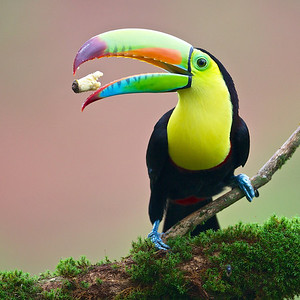 Keel-billed Toucan eating banana.