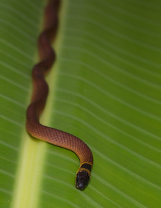 Red Coffee Snake.