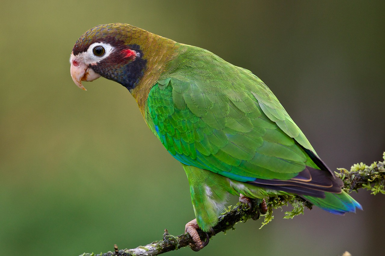 Brown-hooded parrot.