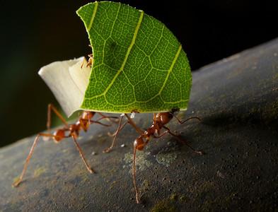 Leaf-cutter ants.