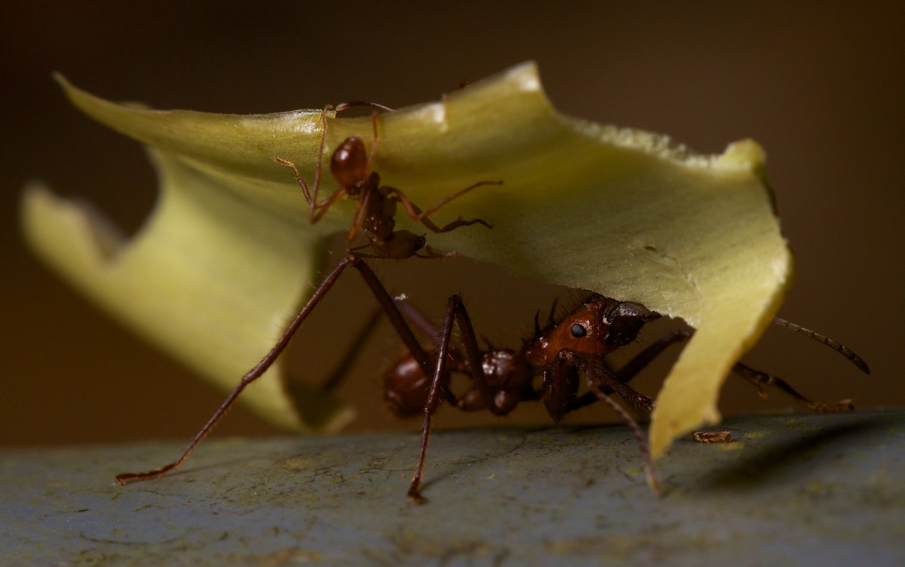 Leaf-cutter ants at Bosque del Cabo Lodge.