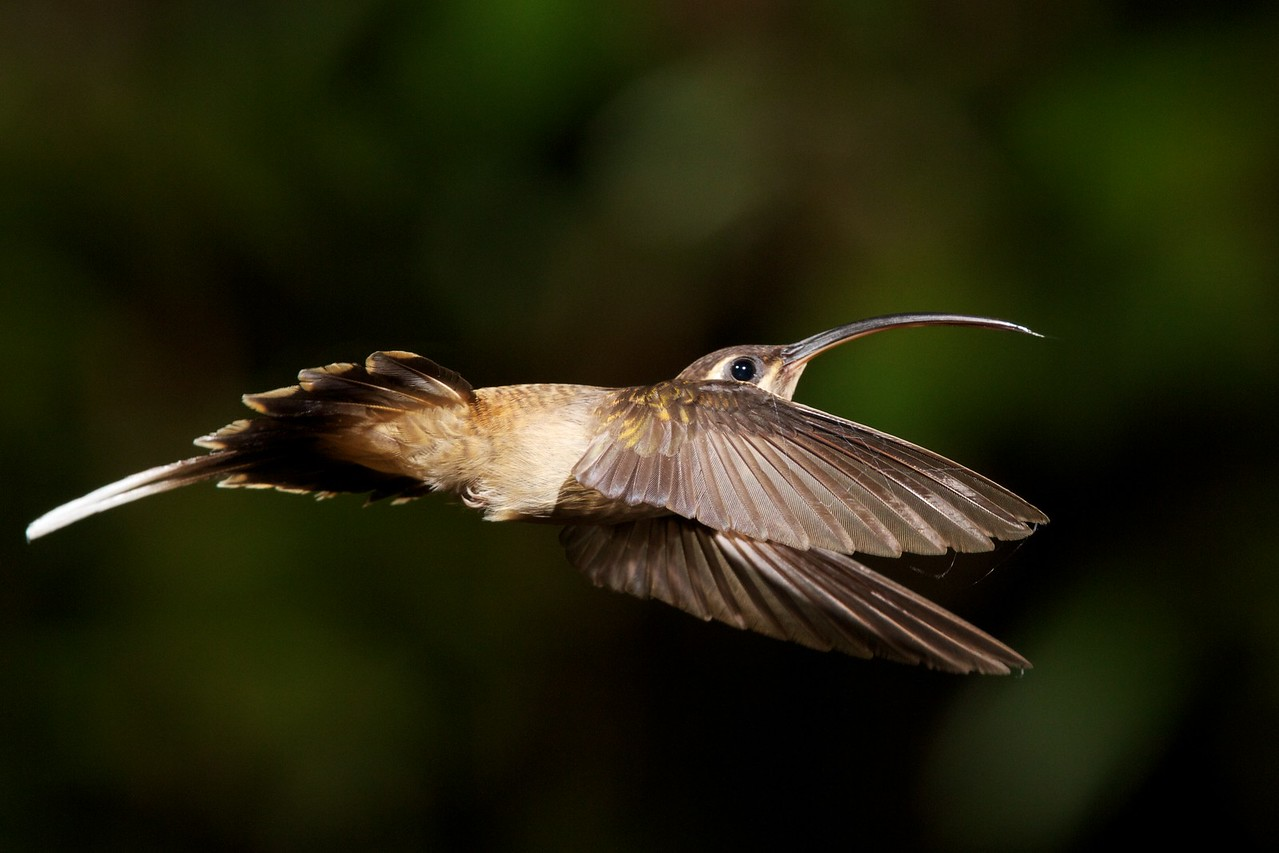 Long-tailed Hermit Hummingbird.