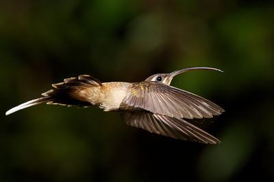 Long-tailed Hermit Hummingbird.