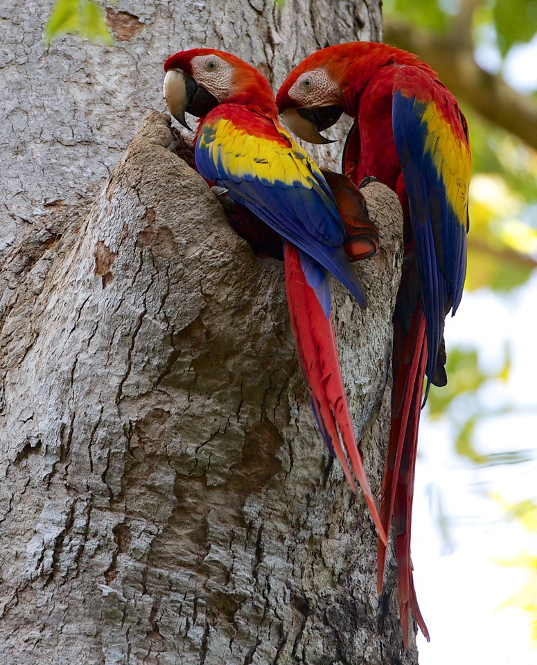 Scarlet Macaws, nesting, in the wild at Bosque del Cabo Lodge.